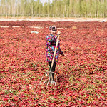 The chilli drying fields of Korla thumbnail