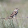 casp-m-nearkeyes-5-12-17-tl-01-cropscreen (pomarinejaeger) Tags: keyes oklahoma unitedstates bird cassinssparrow aimophilacassinii peucaeacassinii