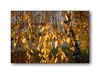 . (Terra Lyusi) Tags: nikond40 bokeh light leaves tree color colorful plants nature impressionism autumn yellow