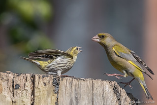 Siskin and greenfinch fighting.