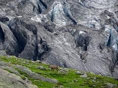 Alpine ibex near glacier du Bionnassay. (elsa11) Tags: alpineibex glacierdubionnassay capraibex niddaigle gletscher gletsjer glacier alps alpen alpes hautesavoie rhonealps mountains montagnes france frankrijk steenbok steinbock wildgoat tramwaydumontblanc