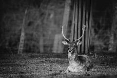 Damwild Kefermarkt (georg.kaiblinger) Tags: kefermarkt dee wild deer austria upperaustria nikon d500 spaziergang tiere animal alt schwarz weis black white jägermeister jäger