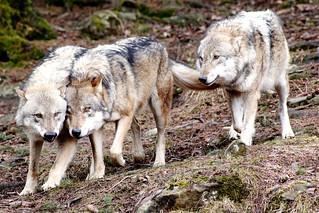 Europäisches Wolfsrudel - European Wolf Pack