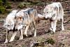 Europäisches Wolfsrudel - European Wolf Pack (vampire-carmen) Tags: wolf wölfe wolves rudel pack wald forest tierpark zoo lohberg cham oberpfalz bayern bavaria deutschland germany alemania europe hdr canoneos600d wolwe ujq ተኵላዎች الذئاب գայլեր canavar otso নেকড়ে ဝံပုလွေ vukovi вълци mimbulu 狼 ulve lupoj hundid lobo susia loups მგლები λύκοι વરુના chenmawon nailiohae זאבים भेड़ियों serigala úlfar lupi オオカミ וועלף ತೋಳಗಳು қасқырлар សត្វចចក карышкырлар 늑대들 vilkai ചെന്നായ്ക്കൾ लांडगे волци чоно ब्वाँसा wolven ulver vargar madaidheanallaidh wilki ஓநாய்கள் తోడేళ్ళు หมาป่า vlci kurtlar farkasok sói bleiddiaid