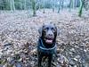 Smiling Hudson (Pyrolytic Carbon) Tags: mobile hudson hudsonbrunton forest trees labrador chocolatelabrador