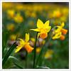 M for Mellow (Yellow) (John Penberthy LRPS) Tags: d750 johnpenberthy nikon daffodil jetfire narcissus yellow