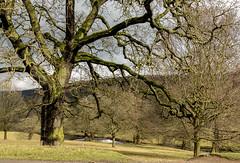 2018-03-13 Chatsworth-1370566.jpg (Hands in Focus) Tags: derbyshire lumixfz1000 peakdistrict tree chatsworthestate
