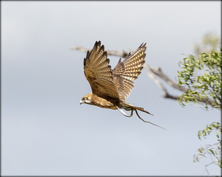 Brown falcon with snake.
