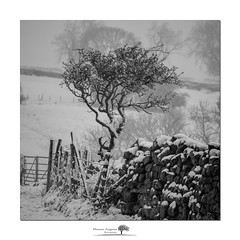 Make do (shaun.argent) Tags: woodland woods trees tree winter weather seasons shaunargent snow snowfall easter flora nature yorkshire