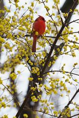 red bird (johnsdigitaldreams.com) Tags: newyork johnsdigitaldreamscom sonyalpha sony a7rm2 bigapple johnchandler nyc