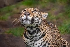 Looking Skyward (helenehoffman) Tags: pantheraonca conservationstatusnearthreatened mammal carnivore sandiegozoo feline cat jaguar bigcat southamerica animal
