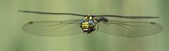 Aeshna cyanea (HelmiGloor) Tags: aeshnacynaea aeshnidae edellibellen grosslibellen dragonfly libellenflug libellen canon freihand handheld insekten insecta southernhawker