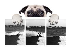 rePUG 3 cópia (rauly 1974) Tags: pug cão cachorro dog praia cartaz ausência