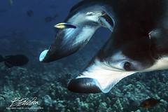 Macro lens and Manta Ray (bodiver) Tags: hawaii ocean water macro manta mantaray cleaningstation hawaiiancleanerwrasse reef fins