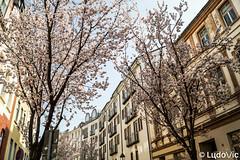 Spring is coming - 01 (Lцdо\/іс) Tags: cherry blossom avenue cerisier japonais japanese tree spring avril april 2018 bonn germany japan deutschland deutsch street heerstrasse strasse lцdоіс