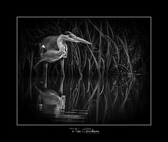 Dark Hunter. (timgoodacre) Tags: heron greyheron bird wildbird water waterfowl waterbird watching waterdrops birds birdportrait blackwhite blackandwhite monochrome mono nature wildlife wildfowl wildanimal