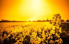 Rapeseed Sunset (Maria Eklind) Tags: countryside simrishamn rapsfält rapeseedfield sunlight sunset hammenhög solnedgång sweden rapeseed skåne yellow österlen raps simrishamnv skånelän sverige se