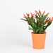 Easter cactus on white background