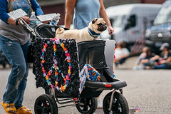 PugCrwal-44 (sweetrevenge12) Tags: pug parade crawl brewing sony pugs dog pet