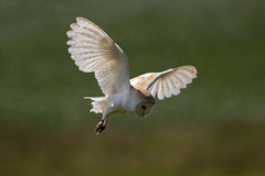 Barn Owl (Simon Stobart) Tags: northeastengland barn owl tyto alba flying coth5