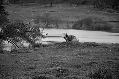 Lonely (StevePilbrow) Tags: loughrigg tarn national trust sheep animal lake district park cumbria lakes north west england country side water walking black white trees hill pike nikon d7200 nikkor 18105mm march april 2018