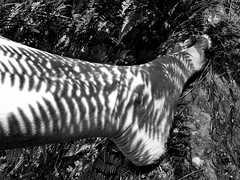 Light and shadow (Barefoot Adventurer) Tags: barefoot barefooting barefoothiking barefooter barefeet barefooted baresoles barfuss bw blackwhite blackandwhitephotography forest freedom ferns toughsoles texture happyfeet healthyfeet hardsoles heelcracks wrinkledsoles woodlandsoles sunlight dappledsunlight earthstainedsoles anklet stainedsoles earthing energy earthsoles arch
