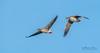 """Talk to me goose"" (m3dborg) Tags: anser goose bird birds animal animals wildlife wilderness nature hornborgasjön blue sky wing wings feathers couple flight in bif formation ngc"