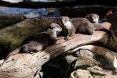 Asian Small Clawed Otters (Mark Harris photography) Tags: otters smallclawed cute cuteness animal furry cheeky water