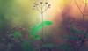 Deutzia x rosea buds (Dhina A) Tags: sony a7rii ilce7rm2 a7r2 a7r kaleinar mc 100mm f28 kaleinar100mmf28 5n m42 nikonf russian ussr soviet 6blades bokeh flower buds garden white pink yuki cherry yukicherry deutzia rosea
