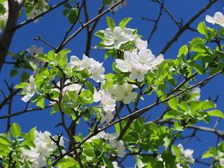 Garland Crabapple Blossoms (Malus coronaria)
