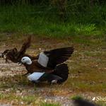 Weka taking a Paradise Duckling thumbnail