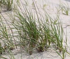 Dune Grass (RockN) Tags: dunes seagrass beach may2018 falmouth capecod massachusetts newengland