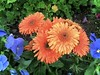 """I paint flowers so they will not die."" (Bennilover) Tags: gerberas gerbera pansy orange blue flowers april neighborhood blooming growing planting spring pansies life living"