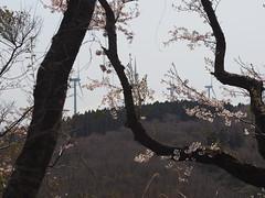 Cherry blossom trees on the hills (murozo) Tags: cherry blossom tree sakura spring wind power generator mountain mtchokai hill yurihonjo akita japan 桜 花 枝 幹 春 風力発電 丘 鳥海山 山 由利本荘 秋田 日本