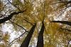 Merging crowns (МирославСтаменов) Tags: russia moscowregion pushchino crown trunk forest autumn linden