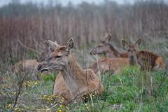 Red Deer (laagwater) Tags: reddeer edelhert cervuselaphus ovp oostvaardersplassen newwilderness staatsbosbeheer schande survivors sonya7 konicahexanonar135mmf32