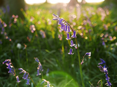 bluebell season 110/365 (auroradawn61) Tags: bluebellwoods bluebells lensflare flickrfriday flare lumixlx100 bokeh dorset uk england april 2018 365daysin2018 explored interestingness