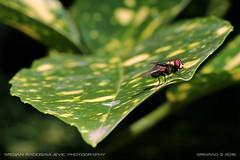 Common green bottle fly (Lucilia sericata) (srkirad) Tags: closeup fly luciliasericata leaf sunny bokeh dof depthoffield outdoor blur jevremovac garden botanical belgrade beograd serbia srbija nature