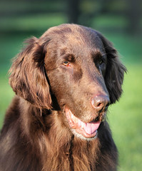 Happy, Happy 11th Birthday, Tilly! (Riversongfcr) Tags: 118picturesin2018 happybirthday flatcoatedretriever dog