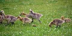 Trying to fly (Matt C68) Tags: goslings geese canadagoose brantacanadensis bird waterfowl chick baby wings flapping flap nature wildlife funny
