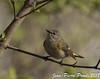 Paruline Flamboyante (F) / American Redstart (F) (proxy46) Tags: 200500mm2018 nikon d500 oiseau oakharbor ohio étatsunis us