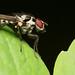 Unknown Diptera (Anthomya?)