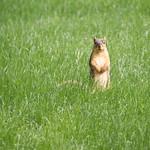 345/365/3632 (May 22, 2018) - Squirrels in Ann Arbor at the University of Michigan (May 22nd, 2018) thumbnail