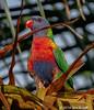Rainbow Lorikeet (Jim Scarff) Tags: australianbirds lorikeets parrots parrotsandcockatoos rainbowlorikeet trichoglossushaematodus sydney newsouthwales australia geo:state=newsouthwales exif:lens=ef100400mmf4556lisiiusm exif:aperture=ƒ80 camera:model=canoneos7dmarkii camera:make=canon geo:city=sydney geo:country=australia exif:focallength=371mm geo:lon=15120563166667 geolocation exif:model=canoneos7dmarkii geo:lat=33890713333333 exif:isospeed=800 exif:make=canon
