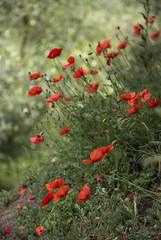 Papaveri (walter.fangio) Tags: papaveeri poppys poppy rosso nature flora flowers fiori verde garda arco