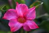 Dipladenia (LotusMoon Photography) Tags: flower macro pink spring closeup shallowdof annasheradon lotusmoonphotography petals blossom blooming blooms bloom blossoms