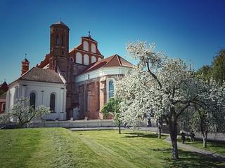 Vilnius blossom  #Lithuania #Vilnius #city #sky #bluesky #church #architecture #trees #Apple #tree #blossom #white #spring #Instagram #instamoment #picoftheday #photooftheday #mobilephotography #mobilephoto #outdoor #photography #samsung #s7edge