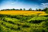Rapeseed (Maria Eklind) Tags: countryside skåne landscape rapeseedfield rapsfält malmö raps outdoor rapeseed yellow oxie field skånelän sverige se
