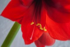 Red Amaryllis (Modkuse) Tags: amaryllis flower macro macrophotography macrolens macroflower nikon nikondslr nikond700 105mmf28nikkormacro nikon105mmf28macronikkor