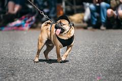 PugCrwal-109 (sweetrevenge12) Tags: portland oregon unitedstates us pug parade crawl brewing sony pugs dog pet
